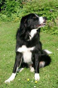 Die Kommunikation der Hunde - Hündisch für Anfänger und Fortgeschrittene